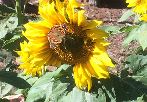 SasquatchTurds.com- Painted Lady on Sunflower