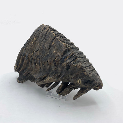 fossils london mammoth tooth