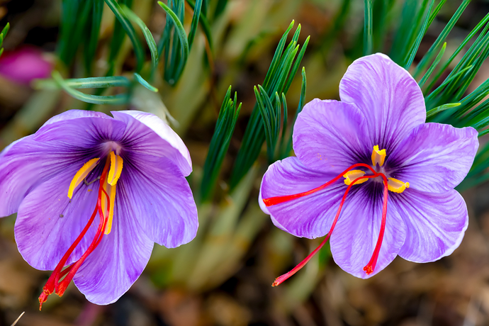 What is Saffron and its 10 Amazing Benefits