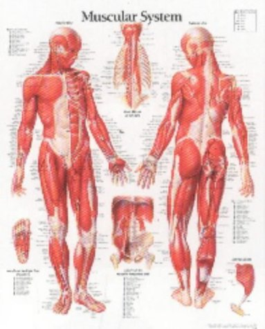 Muscular System Male Chart: Laminated Wall Chart