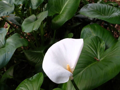 Zantedeschia aethiopica 'Crowborough' - Arum lily