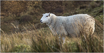 Crossbred wool