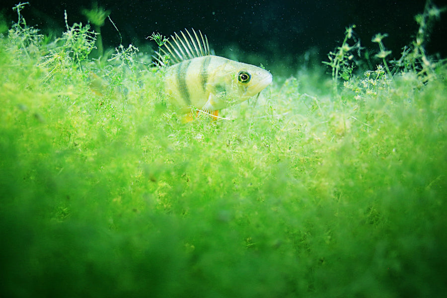 What are the best algae-eating fish for my tropical fish tank?