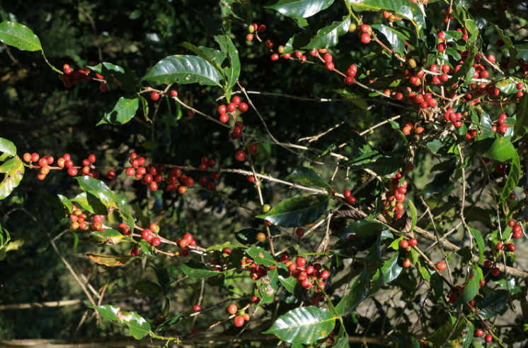 Arabica Coffee in Ethiopia