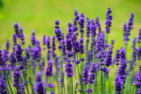 Lavender oil for cloth baby wipes