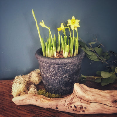 Tete a Tete Daffodils in a Rustic Pot (Charcoal)