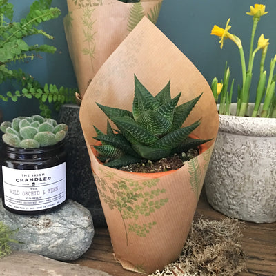 Succulent with Terracotta Pot
