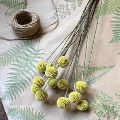 Dried Craspedia Heads - Yellow Billy Buttons