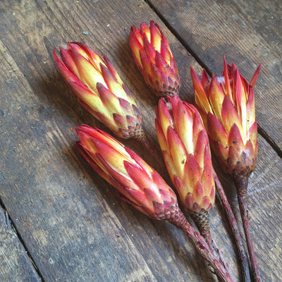 Sugar Bush Flowers (Protea) Red