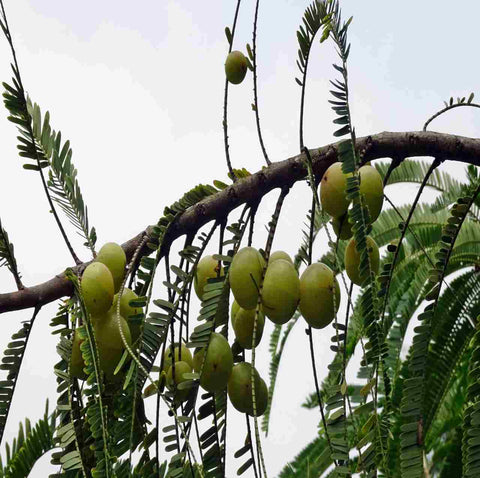 Super food Amla or Indian gooseberry - Ayurmeans