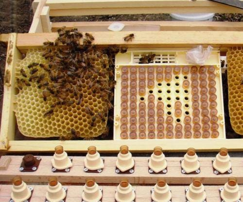 "Queen Bee Rearing Kit ""NICOT-50"" - Beebox2u"