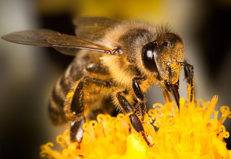 An image of a honey bee