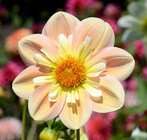 Dahlia 'April Heather'