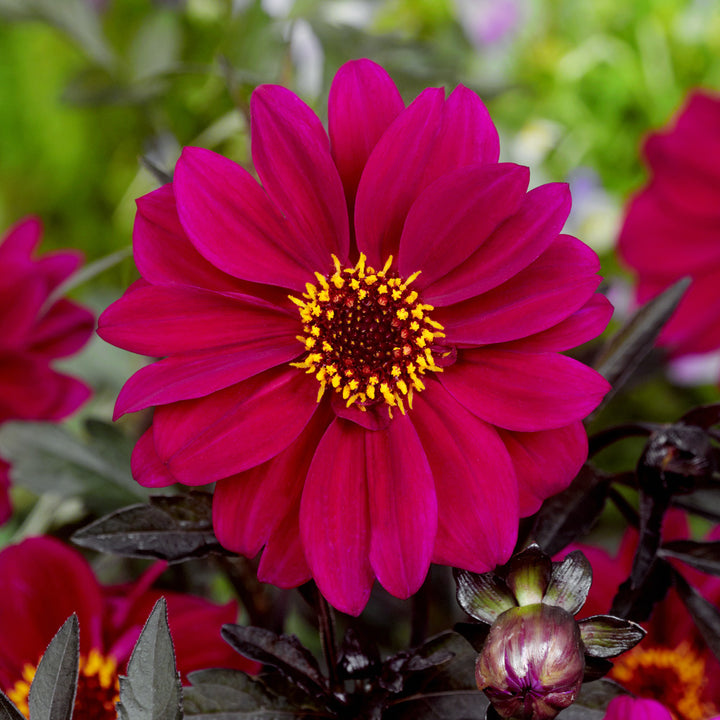 Dahlia 'Bishop of Canterbury'