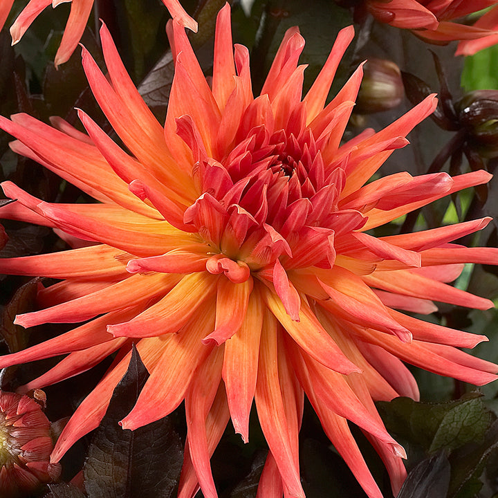 Dahlia 'City of Alkmaar'