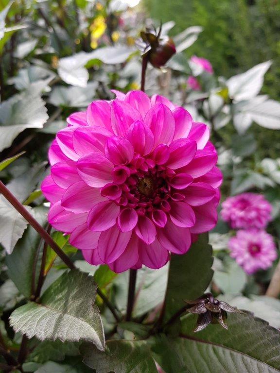 Dahlia 'Evening Breeze'