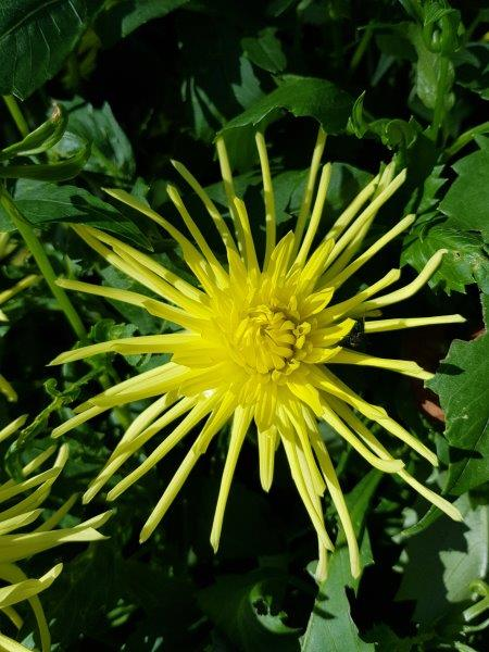 Dahlia 'Gryson's Yellow Spider'