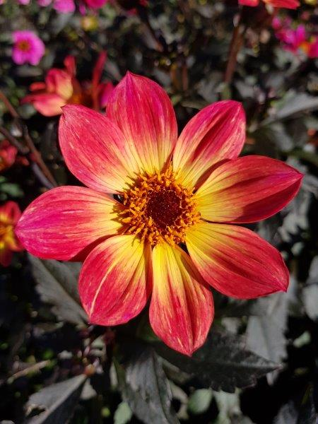 Dahlia 'Happy Single Flame'