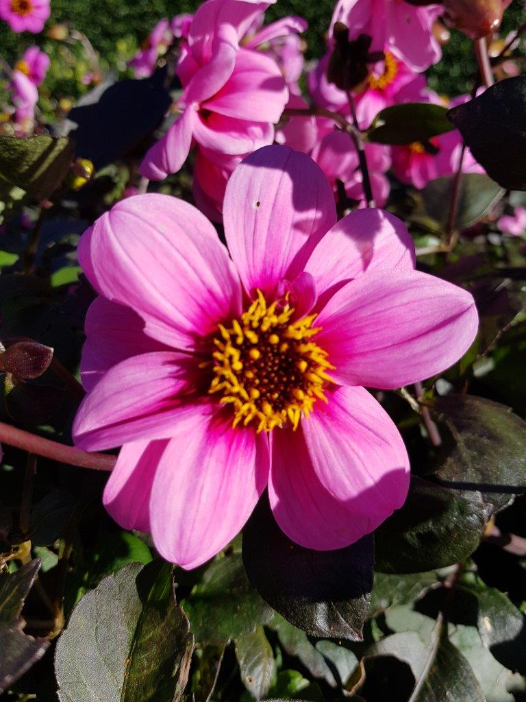 Dahlia 'Roxy Light'