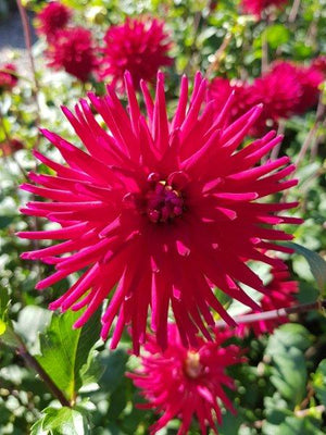 Dahlia 'Weston Pirate'