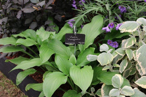 Hosta Honeybells