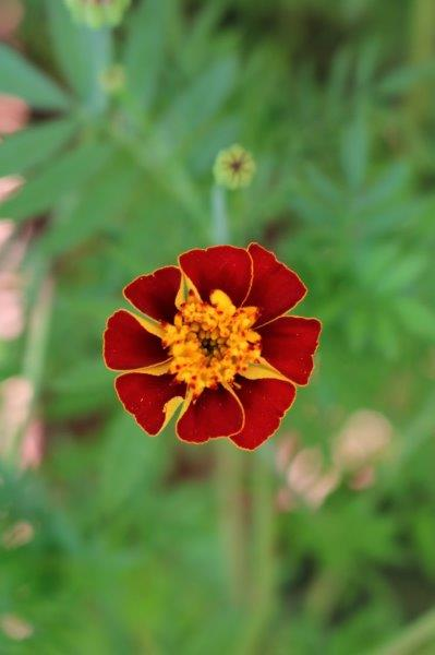 Tagetes Striped Marvel