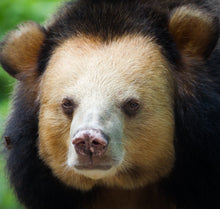 Load image into Gallery viewer, BRANDY sponsorship (Moon bear, Cambodia)