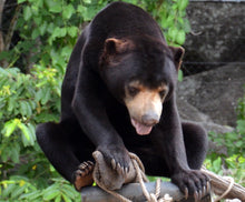 Load image into Gallery viewer, BLUE sponsorship (Sun bear, Cambodia)