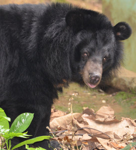 KHAM - Moon bear - Laos (AUD400/yr OR 33/mth)