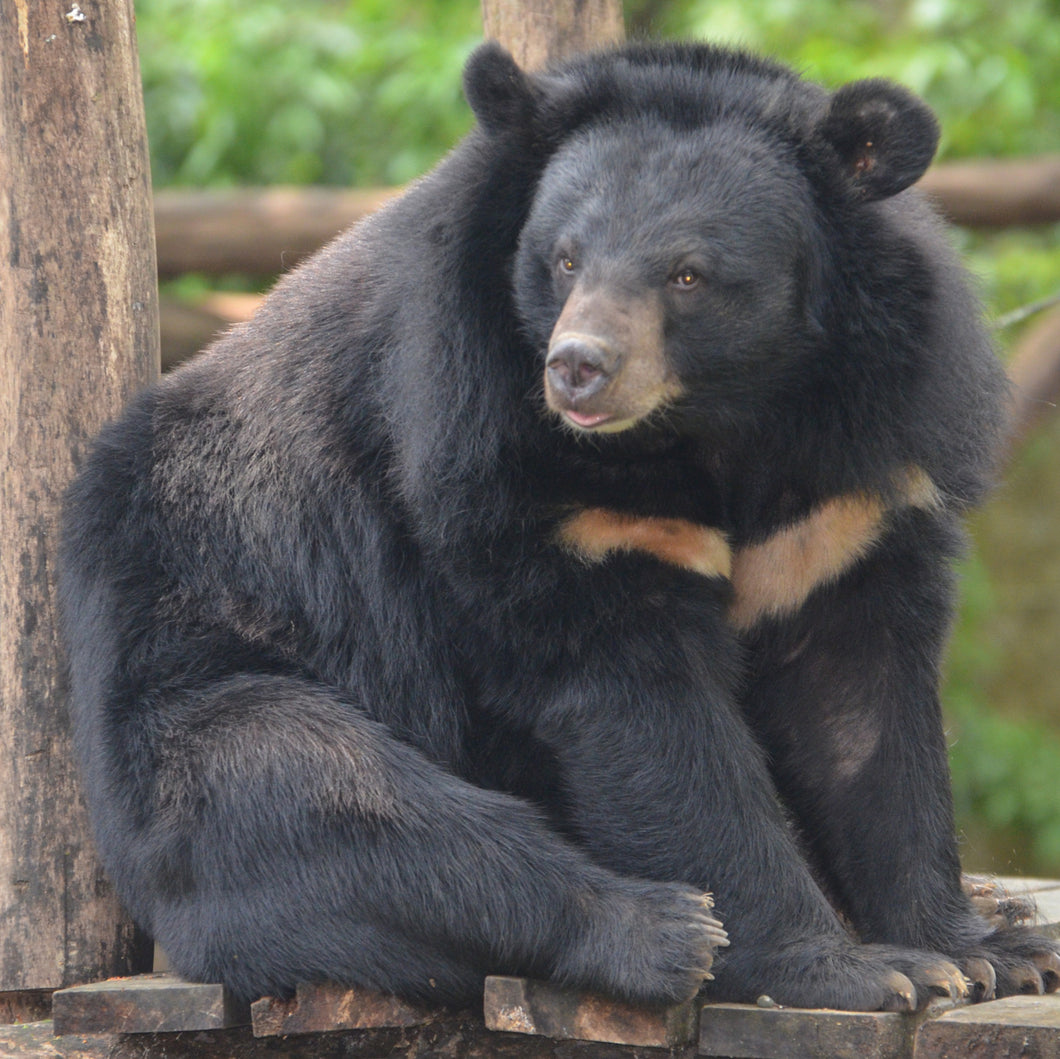 KHAM sponsorship (Moon bear, Laos)