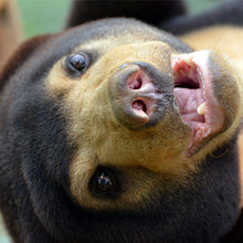 Load image into Gallery viewer, MARY CHRISTMAS sponsorship (Sun bear, Laos)