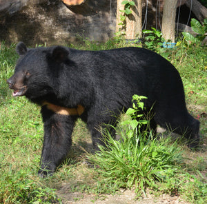 SHOELACE - Moon bear - Cambodia (AUD400/yr OR 33/mth)