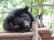 HOPE - Moon Bear - Vietnam (AUD400/yr OR 33/mth)