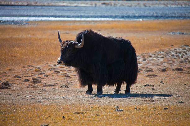 Domestic Yak