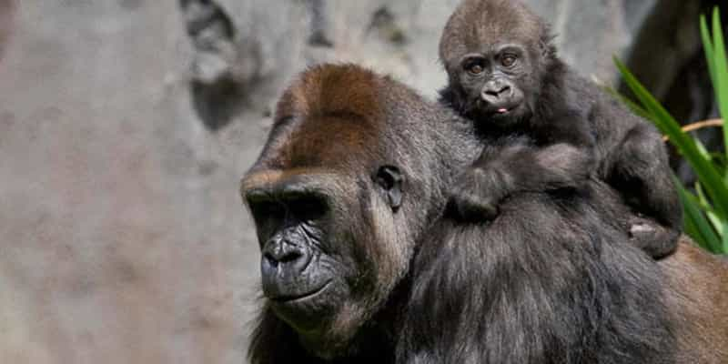 Gorillas at the San Diego Zoo - photo courtesy Smart Destinations