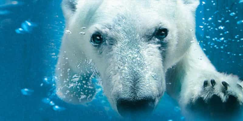 Polar Bear in Northern Frontier at the San Diego Zoo - photo courtesy Smart Destinations