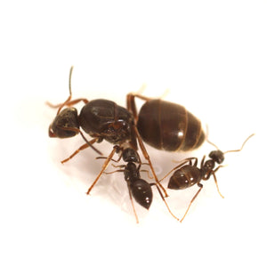 Lasius niger colony