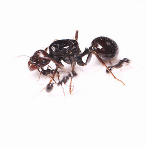 Messor barbarus colony