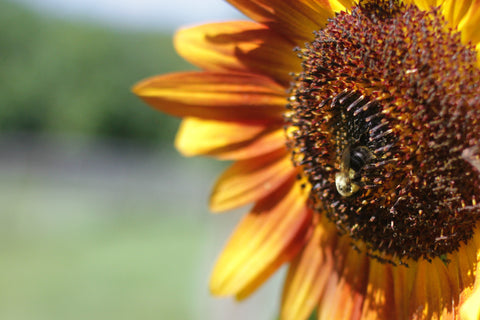 sunflower-orange-yellow-bee