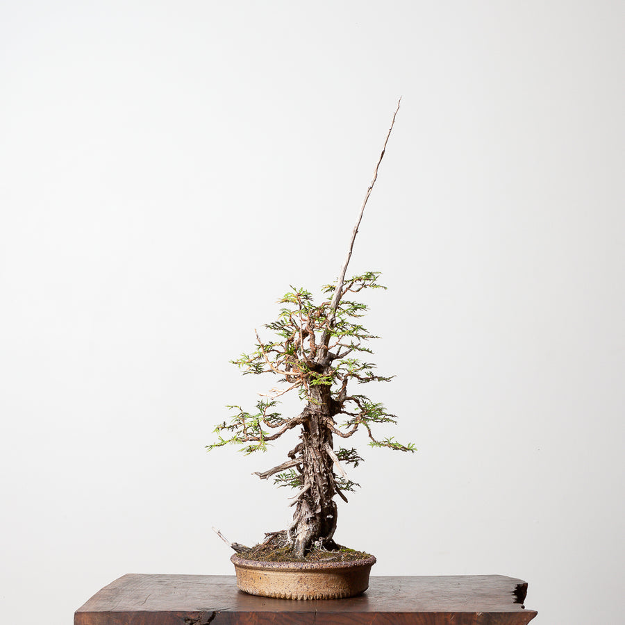 Eastern White Cedar No. 1