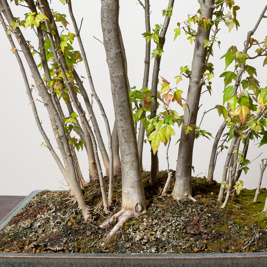 Trident Maple Forest No. 1