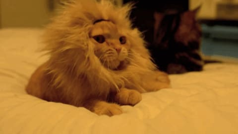 Cute Cat Lion Mane