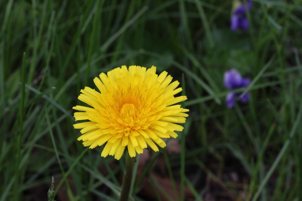 Going Dandelion Hunting (Part 1)