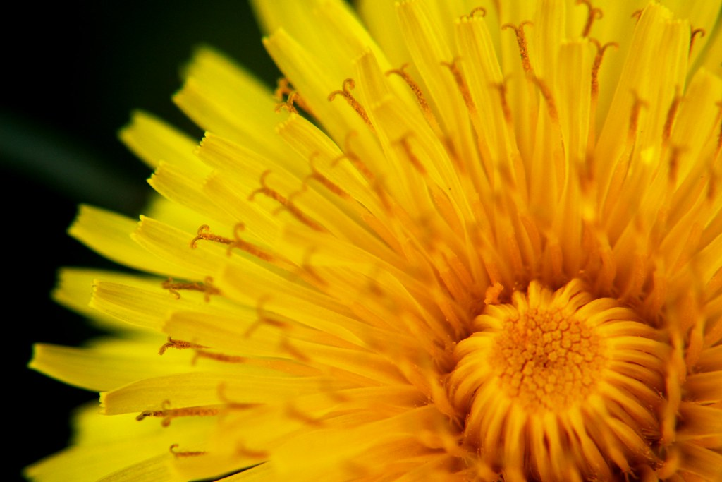 Going Dandelion Hunting - looking for little, persistent pieces of joy