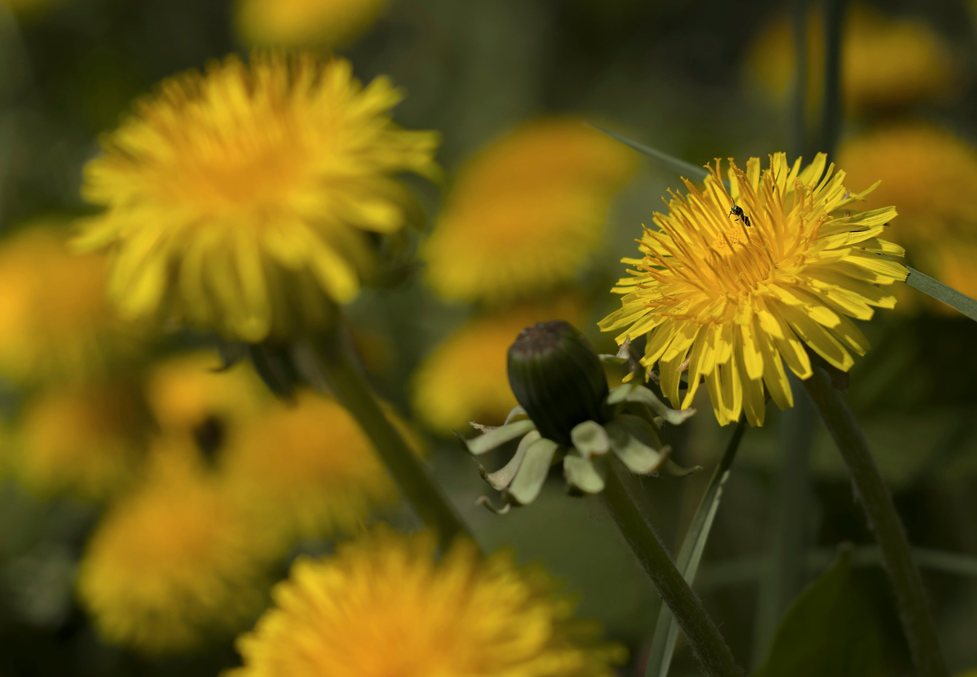 Close up of multiple blooming yellow dandelion heads and one closed dandelion bud
