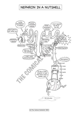 Nephron Coloring & Activity Page
