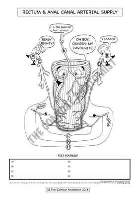 Rectum & Anal Canal Arterial Supply Coloring & Activity Page