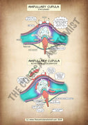 A4 Ampullary Cupula High Resolution Printable Poster