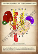 Stomach & Abdominal Esophagus A4 Printable Poster