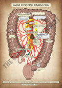 Large Intestine Innervation A4 High Resolution PDF Digital Download